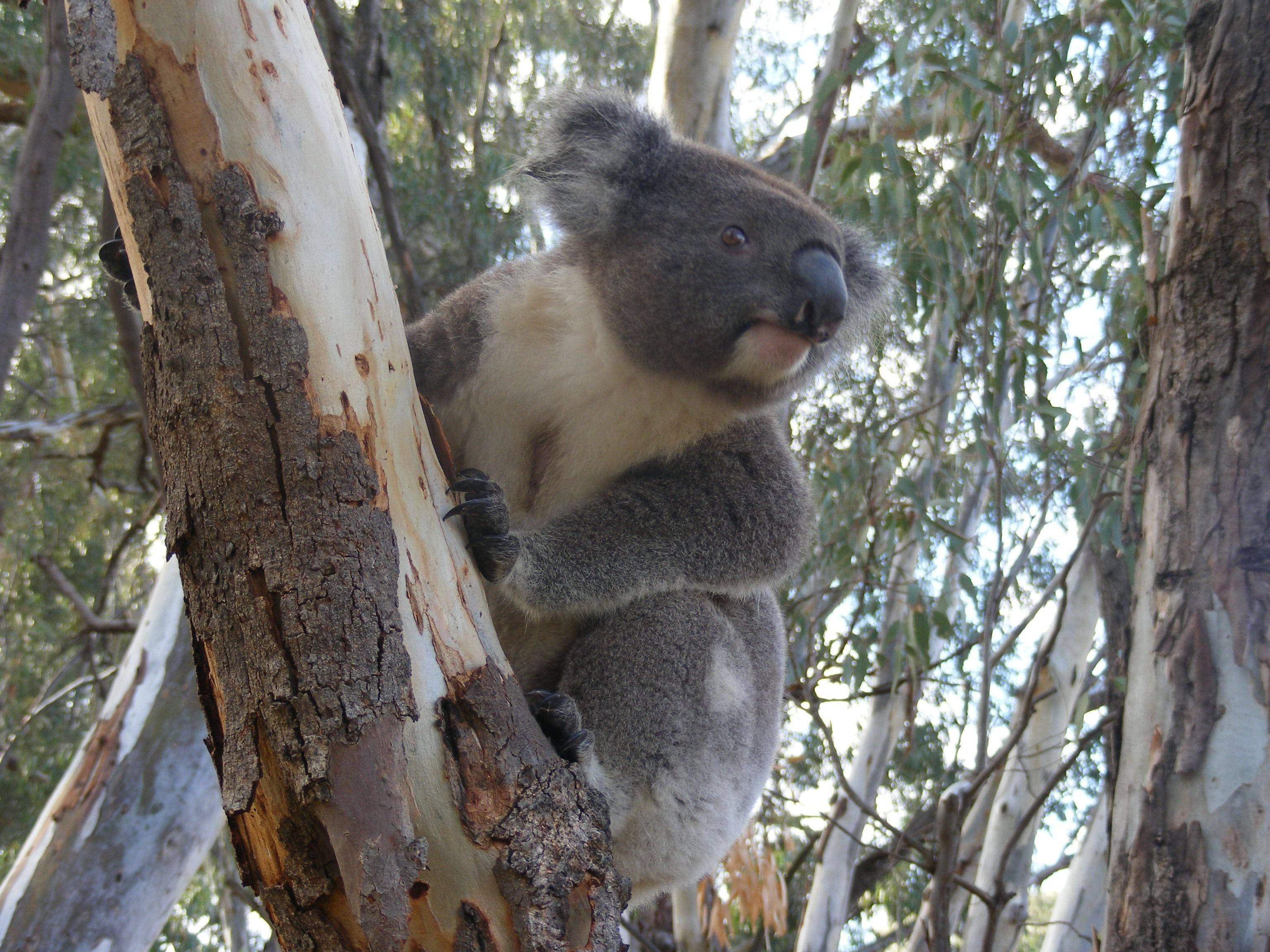 Annual Koala Count - Casino Accommodation